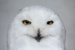 Snowy owl (Bubo scandiacus). Wildlife animal Royalty Free Stock Photos