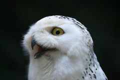 Snowy owl (Bubo scandiacus). Wildlife bird Royalty Free Stock Image