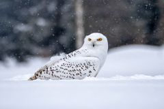 Snowy owl, Bubo scandiacus in winter. The snowy owl Bubo scandiacus is a large, white owl of the typical owl family. Snowy owls are native to Arctic regions in royalty free stock photo