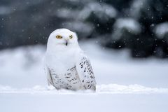 Snowy owl, Bubo scandiacus in winter. The snowy owl Bubo scandiacus is a large, white owl of the typical owl family. Snowy owls are native to Arctic regions in stock photo