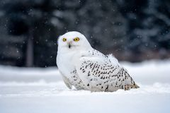 Snowy owl, Bubo scandiacus in winter stock image