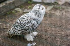 Snowy owl in a cage in a zoo. Snowy owl called Bubop Scandiacas in a cage in a zoo stock photography