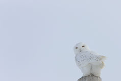 Snowy Owl Canada. Perched on post Stock Photography