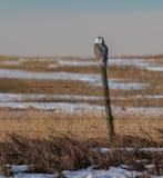 Snowy Owl in Canada. Snowy Owl in Flight in Alberta Canada royalty free stock images