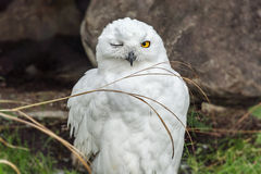 Snowy owl. In Canada in stone Royalty Free Stock Photo