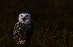 A snowy owl Stock Image