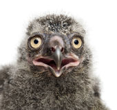 Snowy Owl chick, Bubo scandiacus, 19 days old. Against white background Stock Photography