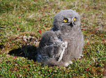 Snowy owl chick (Bubo scandiacus). Is sitting on the grass royalty free stock photo