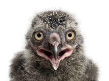 Snowy Owl chick, Bubo scandiacus. 19 days old against white background stock photo