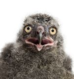 Snowy Owl chick, Bubo scandiacus. 19 days old against white background stock photos