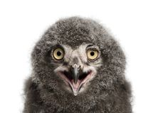 Snowy Owl chick calling, Bubo scandiacus, 31 days old against wh. Ite background Royalty Free Stock Images