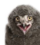 Snowy Owl chick calling, Bubo scandiacus. 31 days old against white background stock photography