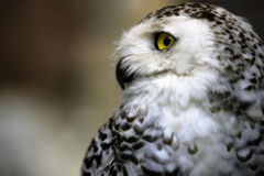 Snowy owl. Close-up of the face of a snowy owl with yellow eyes Royalty Free Stock Image
