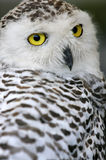 Snowy owl. Close-up of the face of a snowy owl with yellow eyes Stock Images