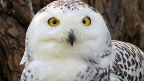 Snowy owl close-up Royalty Free Stock Photography