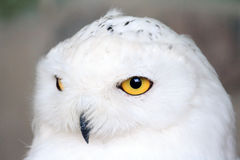 Snowy owl. Close up portrait of the Snowy owl Bubo scandiacus, native to Arctic regions in North America and Eurasia Stock Photos
