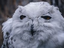 Snowy Owl close up shot. A tighter close up show of a snowy owl staring out looking for food Stock Photo