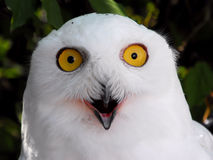 Snowy White  Owl Royalty Free Stock Photo