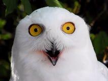 Snowy White  Owl Royalty Free Stock Photo