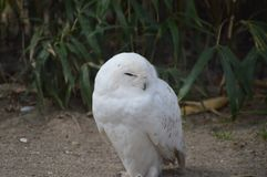 Snowy Owl Close up. Snowy owl sleeping on ground. Bubo scandiacus Royalty Free Stock Image