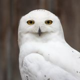 Snowy owl closeup. Snowy owl sitting quietly looking out for prey Royalty Free Stock Images