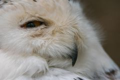 Snowy owl. Closeup in profile portrait of a snowy owl. Bubo scandiacus Royalty Free Stock Images