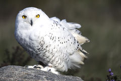 Snowy Owl CRC Royalty Free Stock Photos