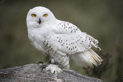 Snowy Owl CRC Royalty Free Stock Image