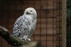 Snowy owl cute animal stock photos