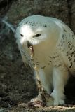 Snowy owl eating Stock Images
