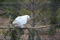 Snowy Owl eating Chick Royalty Free Stock Photos