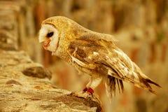 Snowy Owl in Ecuador stock photography
