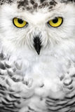 Snowy owl eyes. Close-up of the face of a snowy owl with yellow eyes Stock Photo