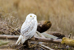 Snowy Owl, with Fall color Background Stock Image