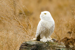 Snowy Owl, with Fall color Background Royalty Free Stock Images