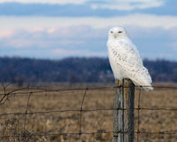 Snowy Owl on a Fence Royalty Free Stock Image