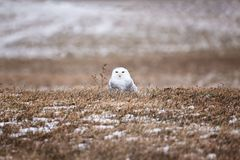 A Snowy Owl sitting inthe field royalty free stock photo