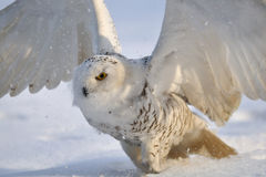 Snowy owl flap wings. On the snow stock image