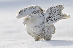 Snowy owl flap wings. And standing on the snow Stock Photo