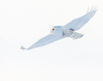 Snowy Owl in flight Royalty Free Stock Photography