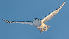 Snowy Owl in Flight Royalty Free Stock Images