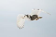 Snowy Owl in Flight Stock Image