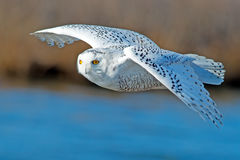 Snowy Owl. In flight over Blue Water Stock Image