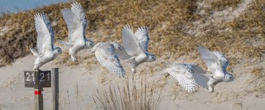 Snowy Owl Flight Sequence Lizenzfreie Stockfotografie