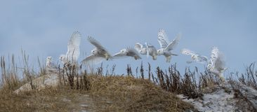 Snowy Owl Flight Sequence Immagine Stock