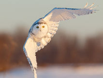 Snowy Owl in Flight. At sunrise in rural Ottawa, Canada Royalty Free Stock Photo