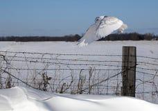 Snowy owl in flight Royalty Free Stock Image