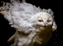 Snowy Owl Fluffing Feathers on Dark Background. Snowy owl fluffing feathers and looking to the left in the darkness Royalty Free Stock Photos
