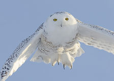 Snowy Owl Flying. Head on Stock Photography
