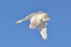Snowy Owl flying from below Royalty Free Stock Images